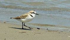 These Kentish Plovers  (Charadrius alexandrinus) always remind me of the cartoon character Road Runner,  the way they run, like crazy,  along the beach.   They are now only occasional visitors to Kent, and are commonest around the Mediterranean. They prefer sandy places such as the embankments and waste areas around salt pans and beaches.  Taken in the Costa Blanca, Spain.  Many thanks to all who take the time to view, comment or fav my images.