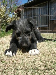 IRISH WOLFHOUND *dies from squishiness over how freaking cute this pup is!*