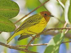 Mangrove Warbler, Costa Rica