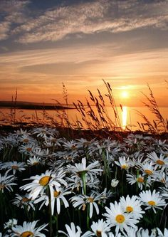 Orkney Islands.....isn't THIS pretty?? I LOVE the daisies.......my favorite flower!!