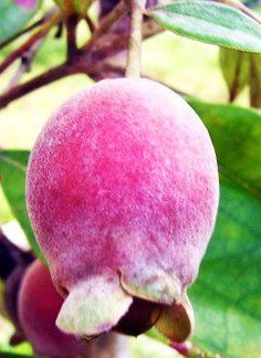 Keremunting Fruit > unique fruit from Belitong! :) >>>