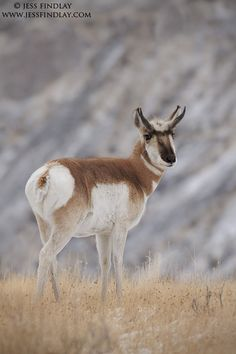 Mexican pronghorn (Antilocapra americana mexicana) is a pronghorn native to Mexico and the United States.