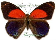 Nymphalidae : Callicore texa titania set 2