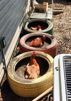 Dust bath for chickens with old tires.