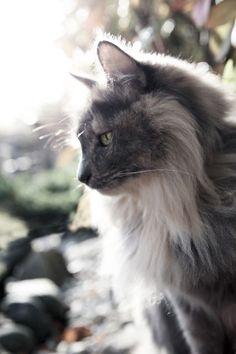 Cats Afraid Of Cucumbers Turkish Angora Cat, Angora Cats, Flea Shampoo For Cats, Toxic Plants For Cats, Teacup Cats, Herding Cats, Cat Breeds, Cat Love, Cat Art