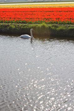 Tulip Fields in The Netherlands | Design Mom