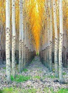 Birch sentinels