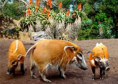 Red River Hog, Animals And Pets, Cute Animals, Cute Pigs, Zoology, Guinea Pigs, Animal Kingdom, Kenya, Animals Beautiful