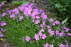 Creeping Phlox - currently have a small patch in our garden