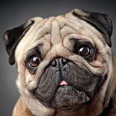 Pug Pictures, Cute Animal Pictures, Animals And Pets, Baby Animals, Cute Animals, Pug Life, Pug Kawaii, Baby Pugs, Pug Puppies