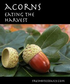The Acorn Harvest: Acorn Foraging and Recipes | Fresh Bites Daily