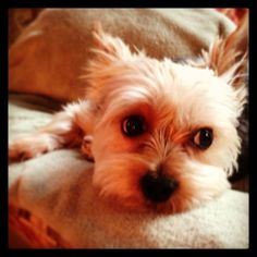 Morkie angel Looks just like my dog seriously check my profile picture.
