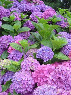 Hydrangeas - Hortensien! Great - Toll!
