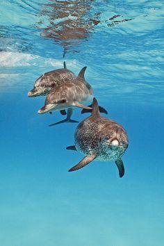 eqiunox: Drie Bottlenose Dolfijnen tijdens een snorkeltrip in de Bahama's Author: Goos van der Heide