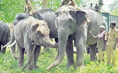 Bangalore: When the Tiger Reserves across the country are vacating the residential facilities within the Reserves the state forest department is planning to move more than 24 families in the core area of Bandipur Tiger Reserve.