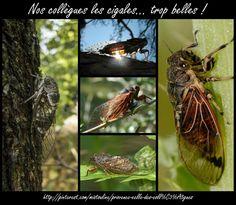 Les cigales chantent tout l'été... http://mistoulinetmistouline.eklablog.com/