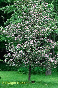 Crataegus x mordensis 'Toba'. Helmiorapihlaja, aikuisen korkeus 3-4 m. Viihtyy auringossa ja paahteisessa. Kukkii vaaleanpunaisena, vaaleampana kun 'Paul's Scarlet' loppukeväällä. Piikkejä harvakseltaan. Helppohoitoinen. Pink Garden, Garden Trees, Stepping Stones, Outdoor Decor, Plants, Pots, Stair Risers, Plant, Planets