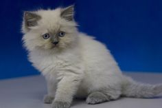 Felix - Blue Point Male Ragamuffin Kitten