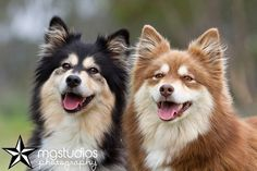 Finnish Lapphunds - I want one when I have my own place!