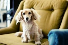 Blonde Long Haired Dachshund | This will be my next baby! Blonde long haired dachshund!
