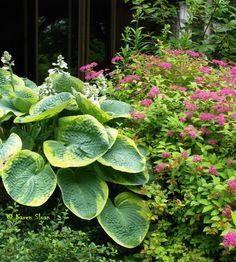 Plant combos. Hosta 'Frances Williams' & Spirea 'Goldflame'.