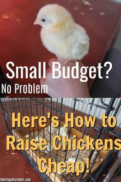 How to Raise Chickens Cheaply - Budget and time friendly tips for coop building, chicken care and Build an Inexpensive Chicken Coop Portable Chicken Coop, Best Chicken Coop, Backyard Chicken Coops, Chicken Coop Plans, Building A Chicken Coop, Chicken Coop Pallets, Types Of Chickens, Raising Backyard Chickens, Baby Chickens