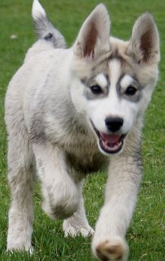 siberian puppy
