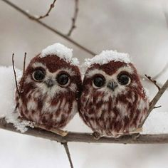 Two tiny owls