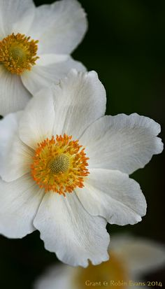 ~~Snowdrop Anemone (Anemone sylvestris) by Grant & Robin Evans~~