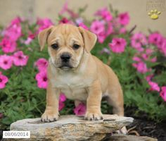 251 Best Adorable Designer Puppies For Sale images in 2019