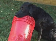 All he needs is a red bucket and he's set for the day! #cutedog #funnydog #blacklab