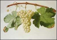 Classic Image of Semillion Grapes   Semillon probably originated in the Bordeaux region of southwestern France, where it remains the major white grape. Semillion is often blended with other white varieties and is the major component in the world-famous sweet wines of Sauternes and Barsac and in the (usually) dry white wines of Graves. It is also grown in Chile, Argentina, Australia, and the United States, especially California.