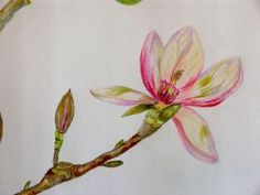 Colored pencil drawing of a magnolia flower; see web site for tutorial Pencil Painting, Color Pencil Art, Doodle Drawings, Pencil Drawings, Flower Drawings, Watercolor Sketch, Watercolor Pencils, Watercolours, Pastel Drawing