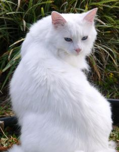 Cats Types: White Cat Breeds With Blue Eyes Pretty Cats, Beautiful Cats, Animals Beautiful, Cute Animals, Pretty Kitty, Stunningly Beautiful, Turkish Angora Cat, Angora Cats, Warrior Cats