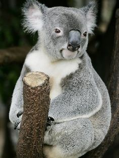 The largest rollback of environmental protection in Australia's history is under way as the State Government waters down vegetation protection laws. Koala habitat will be open to destruction. Picture: Sarah Marshall Source: The Courier-Mail