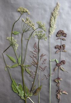 Pressed flowers and grasses. Queen Annes Lace, Nature Aesthetic, Garden Of Eden, Grasses, Surface Pattern Design, Botanical Art, Botany, Dried Flowers, Cardmaking