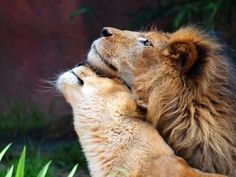 Image uploaded by shooting star. Find images and videos about love, animal and lion on We Heart It - the app to get lost in what you love. Beautiful Cats, Animals Beautiful, Animals And Pets, Cute Animals, Gato Animal, Gato Grande, Lion Love, Tier Fotos, African Animals