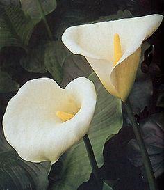 Cala, lenguaje de las flores y las plantas