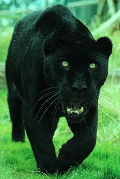 Black Leopard Panther