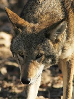 The red wolf is known to hunt mainly at dusk and/or dawn.  They feed mostly on small to medium animals such as grouse, raccoons, rabbits, hares, rodents, carrion and domestic  		livestock.  They also prey on young white-tailed deer when available.  Other than prarie chickens, the red wolf very seldom feeds on birds.