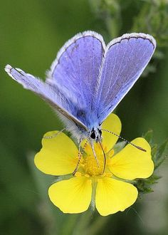 European Common Blue Butterfly On Yellow Flower by Doris Potter