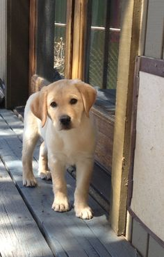 I want a yellow lab                                                                                                                                                                                 More