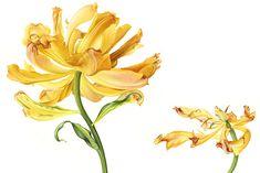 Tulip-Foxy-Foxtrot-for-RHS.jpg (940×627)