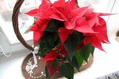Jak pěstovat vánoční hvězdu | JakTak.cz Pesto, Plants, Gardening, Ursula, House, Lawn And Garden, Haus, Plant, Home