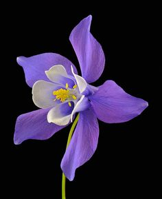 """~~""""Origami Blue"""" Columbine (Aquilegia) - Ranunculaceae~~"""