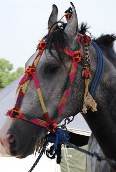 Marwari horse in India. Love!  Reminds me of Awayo here in Argentina :)