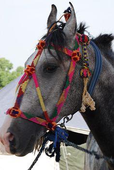 Beautiful, bright Marwari horse in India
