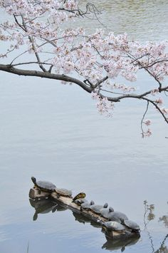 Gorgeous photography! Turtles under a blossoming tree.