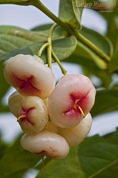 Jambu Air or Wax apple