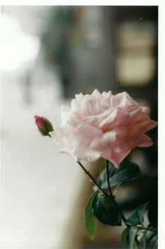 a simple, pink rose . Flowers Nature, Wild Flowers, Amazing Flowers, Beautiful Flowers, Beautiful Things, Bouquet, Rose Photography, Color Rosa, My Flower